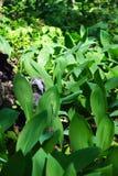 Одичалый серый сыч спать в лилиях долины Стоковое Изображение RF