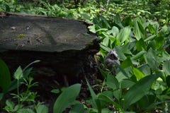 Одичалый серый сыч спать в лилиях долины Стоковое фото RF