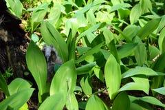 Одичалый серый сыч спать в лилиях долины Стоковые Фотографии RF