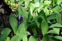 Одичалый серый сыч спать в лилиях долины Стоковое Изображение