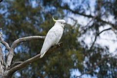 Одичалый Сер-Crested Cacatua Galerita какаду в дереве Стоковые Изображения RF