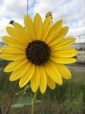 Одичалый солнцецвет поля Стоковое фото RF