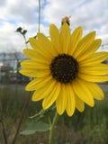 Одичалый солнцецвет поля Стоковое Изображение RF