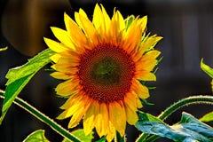Одичалый солнцецвет стоковые фото