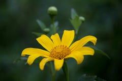 Одичалый солнцецвет Стоковое Фото