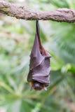 Одичалый спать летучей мыши Стоковые Изображения RF