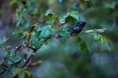 Одичалый старый плод шиповника Стоковые Изображения RF