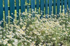 Одичалый стоцвет на предпосылке деревянной загородки Стоковая Фотография