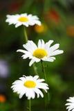 Одичалый стоцвет Стоковые Фото