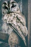 Одичалый сыч Одичалое изображение природы Стоковая Фотография RF