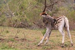 Одичалый сдерживать зебры насекомых Стоковые Фотографии RF