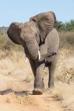 Одичалый слон атакуя сафари Стоковые Фото