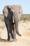 Одичалый слон атакуя сафари Стоковое фото RF