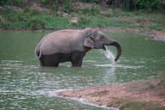 Одичалый слон в пруде Стоковые Фотографии RF