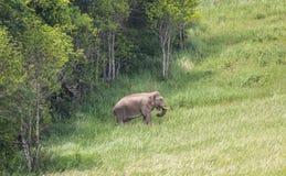 Одичалый слон приходит вне от дерева Стоковые Фото