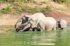 Одичалый слон Стоковое Изображение
