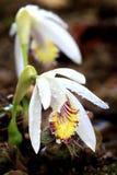 Одичалый тайский цветок орхидеи в тропическом лесе Чиангмая, Таиланда Стоковое фото RF