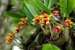 Одичалый тайский цветок орхидеи (psittacoglossum Bulbophyllum) в тропическом лесе Чиангмая, Таиланда Стоковое Фото