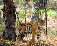 Одичалый тигр в джунглях Индия 17 2010 umaria езды pradesh национального парка в марше madhya Индии слона заречья bandhavgarth ba Стоковые Фотографии RF