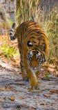 Одичалый тигр в джунглях Индия 17 2010 umaria езды pradesh национального парка в марше madhya Индии слона заречья bandhavgarth ba Стоковое Изображение RF