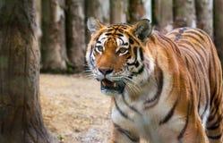 Одичалый тигр смотря вперед Стоковое Изображение RF