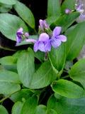 Одичалый фиолет сирени растет в саде Стоковое фото RF