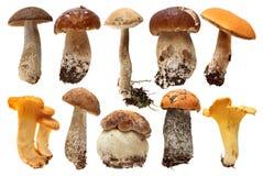 Одичалый фуражированный изолированный выбор гриба Подосиновик Стоковая Фотография