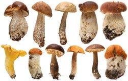 Одичалый фуражированный изолированный выбор гриба Подосиновик Стоковая Фотография RF