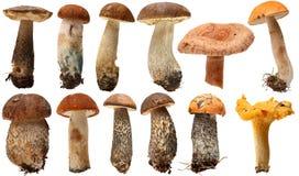 Одичалый фуражированный изолированный выбор гриба Подосиновик Стоковое Изображение