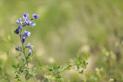 Одичалый цветок весны - голубое одичал-индиго Стоковые Изображения RF