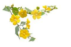 Одичалый цветок гибискуса Стоковая Фотография RF