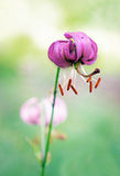 Одичалый цветок лилии Стоковая Фотография
