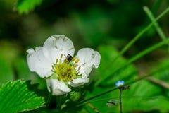 Одичалый цветок клубники леса Стоковые Изображения