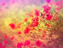 Одичалый цветок мака Стоковые Изображения RF