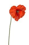 Одичалый цветок мака brite красный Стоковые Изображения RF