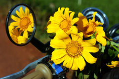 Одичалый цветок маргаритки на мотоцилк Стоковая Фотография