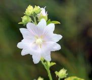 Одичалый цветок мальвы Стоковая Фотография RF