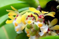 Одичалый цветок орхидеи в тропическом лесе северного Таиланда Стоковое Изображение RF