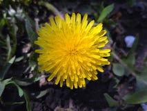Одичалый цветок одуванчика, конец вверх Стоковая Фотография RF