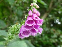 Одичалый цветок foxglove Стоковая Фотография RF