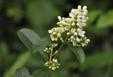 Одичалый цветок Privet Стоковые Изображения RF