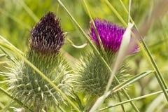 Одичалый цветок thistle Стоковые Фото