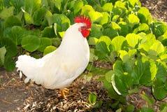 Одичалый цыпленок в полете San Luis Obispo Стоковые Фото