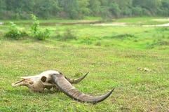 Одичалый череп головы индийского буйвола (arnee буйвола) на заповеднике Huai Kha Khaeng, Таиланде Стоковое Изображение