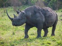 Одичалый черный носорог или крюк-lipped носорог в Masai Mara Стоковая Фотография