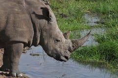 Одичалый черный носорог на выпивая отверстии Стоковые Фотографии RF