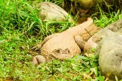 Одичалый черный Caiman в тазе Амазонки Стоковая Фотография RF