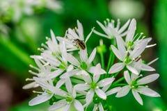 Одичалый чеснок, цветок ursinum лукабатуна чеснока медведя с насекомым Стоковое Изображение RF