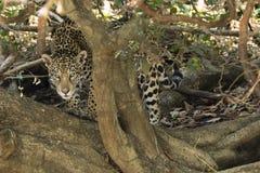 Одичалый ягуар всматриваясь через переплетенный ствол дерева Стоковое Изображение RF
