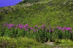 Одичалый Fireweed Стоковые Изображения RF